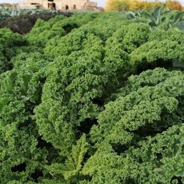 Buon lunedì dalla campagna Floema! 🥬 Il cavolo riccio Kale dell'@azagrferrarini  Per ogni riccio un capriccio 😉 Scoprilo su www.agricolafloema.it